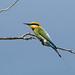 Rainbow Bee-eater by papuckoskav