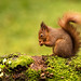 Red Squirrel by www.craigrogers.photography