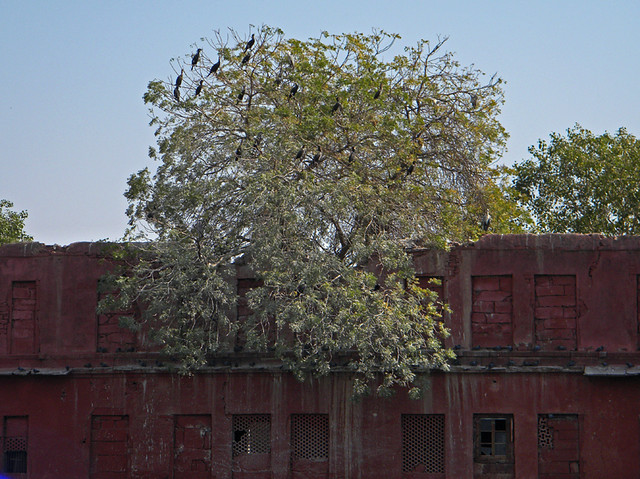 Cormorants gather in a tree near a red building in Jodhpur, India