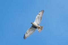DSC_2475.jpg Ferruginous Hawk, UCSC East Meadow