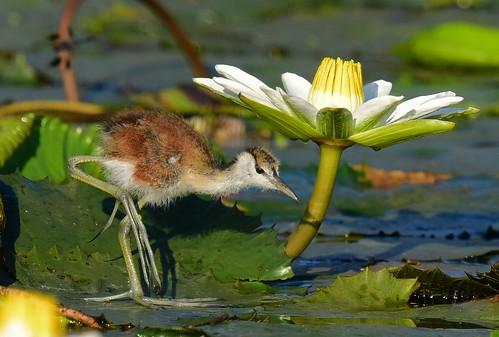 africanjacana gaborone botswana actophilornisafricanus chick
