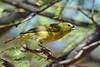 Orange-crowned Warbler in Mesquite