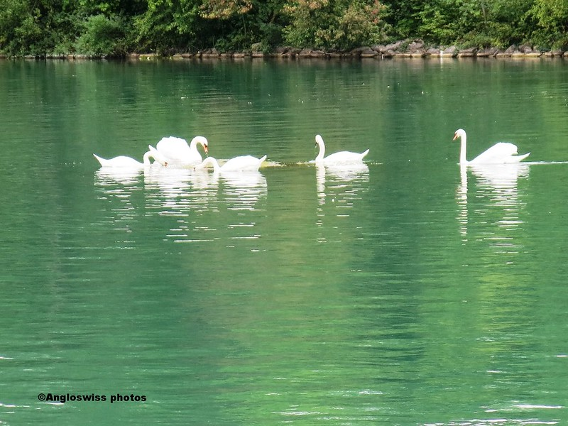 Swans on the River Aar