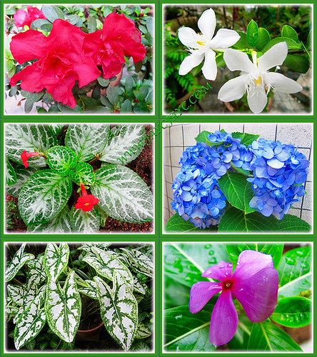 Collage of Dark pink Azalea, Wrightia antidysenterica, Episcia cupreata 'Frosty', Blue Hydragea, Caladium 'Candidum' and Purplish-pink Periwinkle, Aug 26 2015