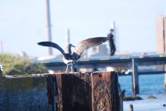 juvenile pacific gull stretching wings
