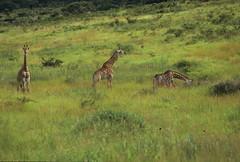 Giraffa camelopardalis giraffa DT [ZA Hluhluwe] 0112 (3)