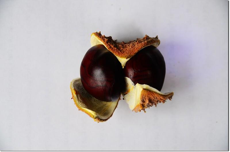 Horse Chestnut(七葉樹)~種子 1