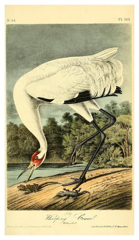 018-Grulla blanca-Vol5-1840-The birds of America…J.J. Audubon