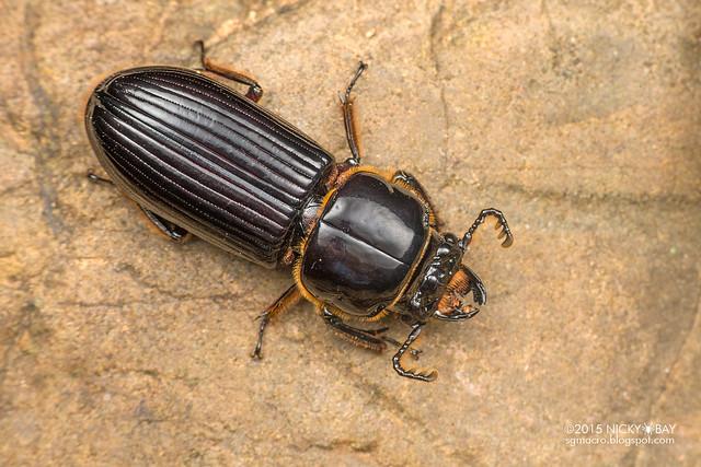 Bess beetle (Passalidae) - DSC_0616