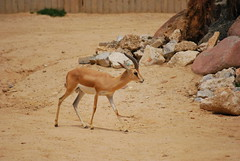 Gazella dorcas DT [ES Zoo Madrid] (3)
