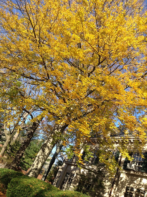 Bright yellow tree in Brookline