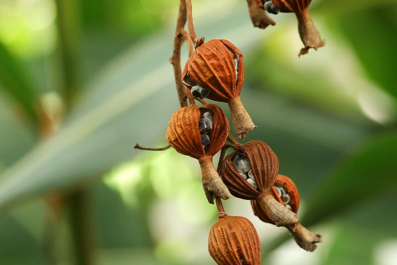 Alpinia zerumbet  ゲットウ(実)