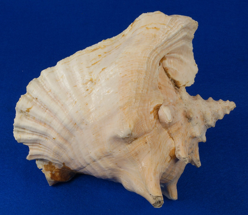 RD14748 Pink Queen Conch Seashell Sea Shell 9.25 inch Long Weight 2.87 Lbs DSC08008