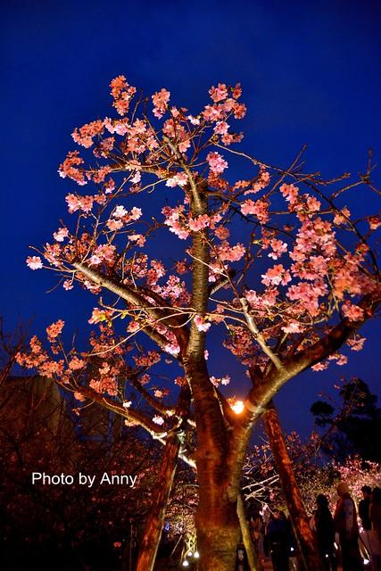 麗池櫻花97