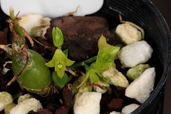 Dendrobium kanburiense 2017-02-13 01