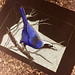 beautiful jay iphone by 99magpies