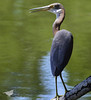 Tricolored Heron: Life Bird!! Scott Peters & I went to PHP today to find these beauties! We had so much fun & it was truly a treat to watch & photograph them. 8-16-15 Pleasure House Point in Va Beach, Va. by chryscott4