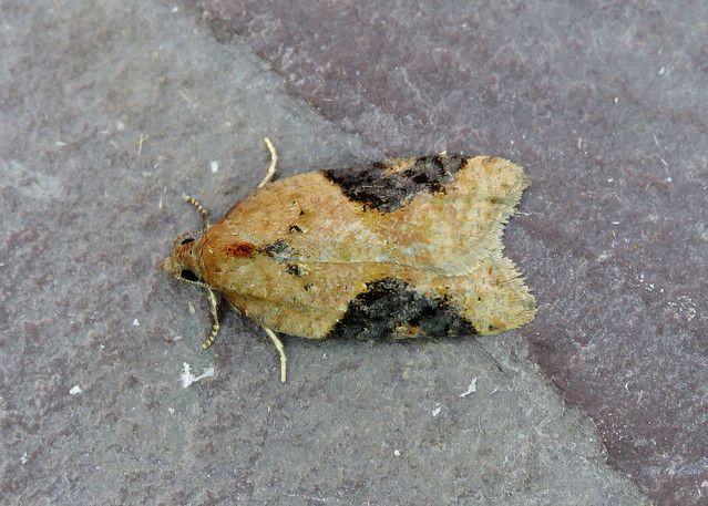 49.066 Acleris laterana
