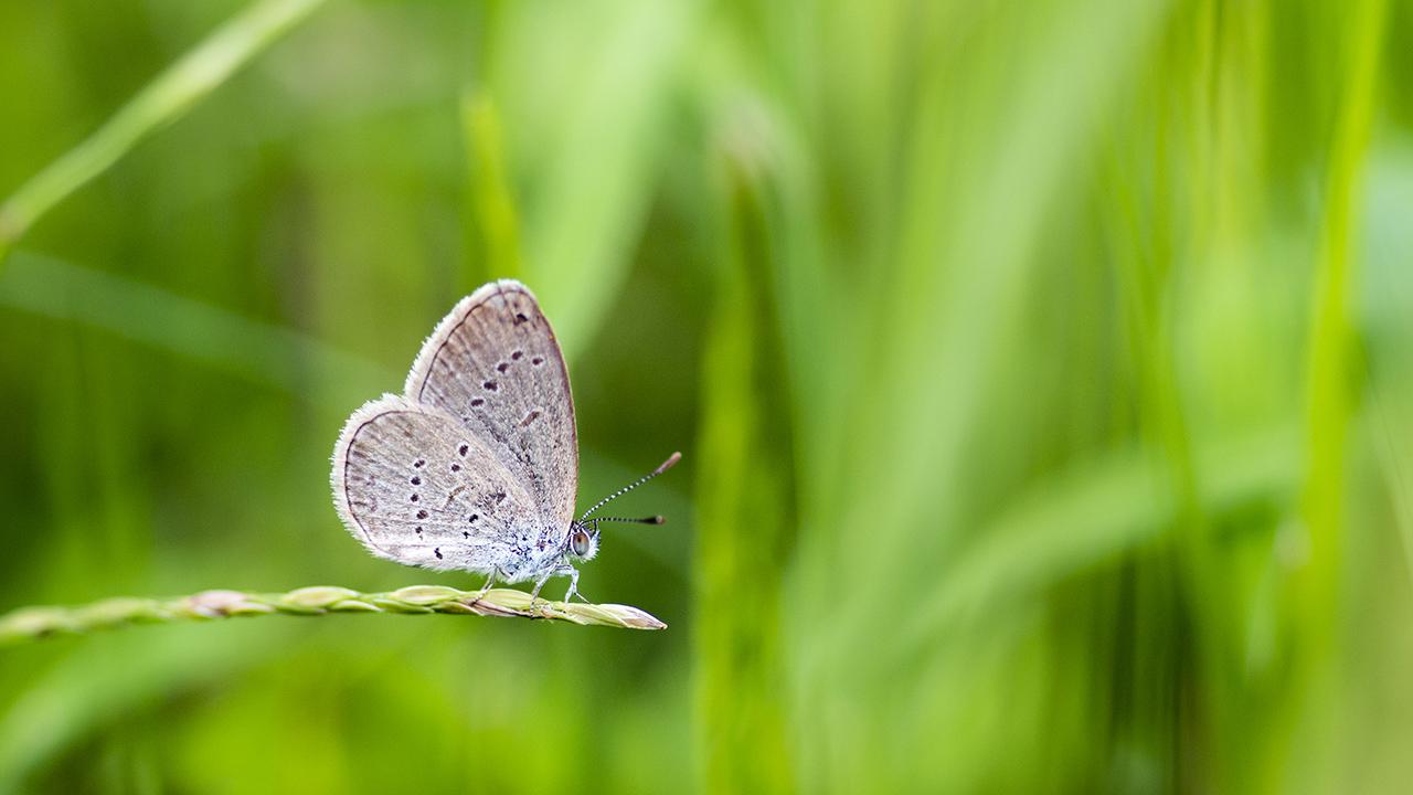 灰蝶就在你身邊