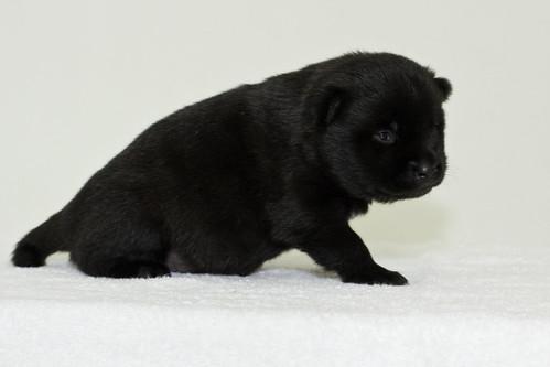 Nori-Litter3-Day17-Pup2(female)d