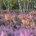Birch in the Heath