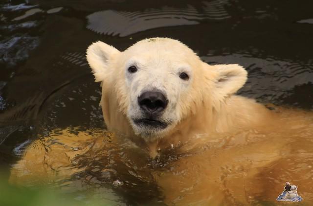 Eisbär Fiete im Zoo Rostock 19.09.2015 Teil 2  079