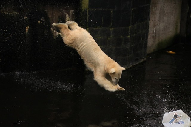 Eisbär Fiete im Zoo Rostock 17.10.2015  0229