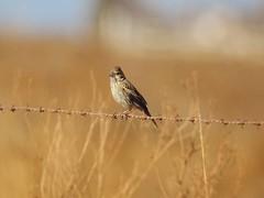 Plight of the Grassland Birds