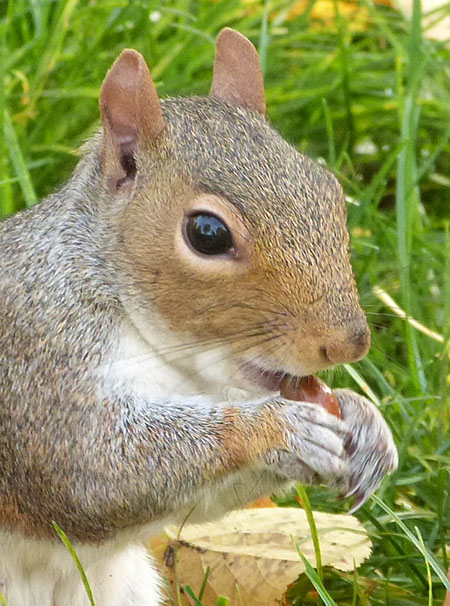 tête d'écureuil