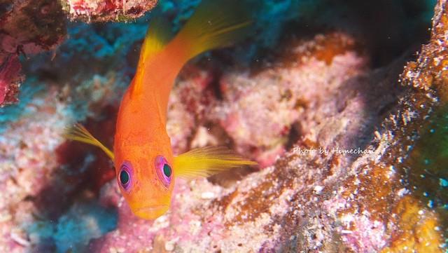 ユカタハタ幼魚