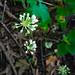 Small photo of Wild Leek (Allium tricoccum)