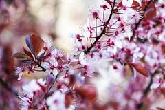 Plunus flowers