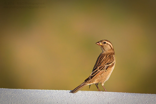 angle animal animalia architectural architecture back background beast bird blurred bokeh brown buntings color colour composition crafts detail effect element environmental exterior feather focus format framing genre horizontal landscape life light lighting natural nature orientation outdoor passeriformes photo photography setting shade sparrow structure style travel view vignette wall wild wildlife worldartscraftsphotographysettingexterioroutdoorphotogenrestyletypetravelwildlifenatureorientationlandscapelightingnaturallightframingcompositionenvironmentaldetailformathorizontalfocusbackgroundblurredeffectbokehvignetteang