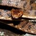 Square-headed Cat Snake (Boiga kraepelini) by cowyeow