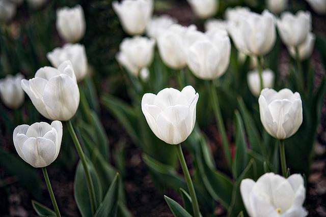 Descanso White Tulips