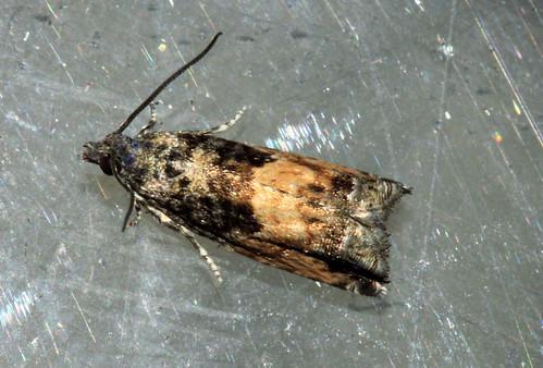 Moth 2537