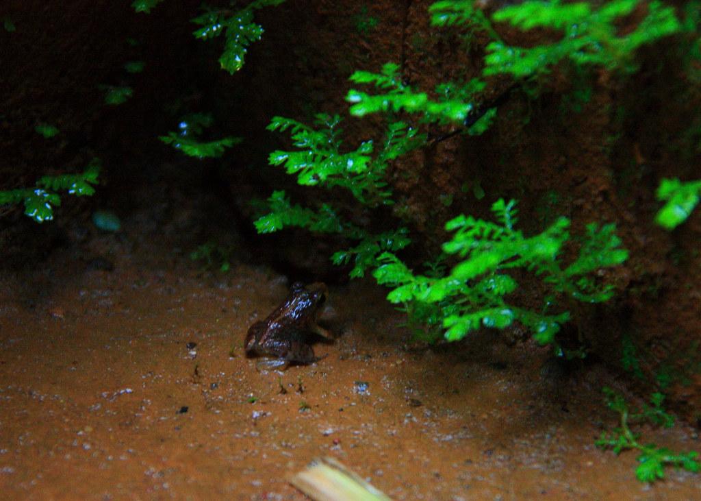 Frog - Western Ghats