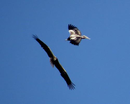 Egyptian Vulture Neophron percnopterus Cabranosa, Sagres September 2015