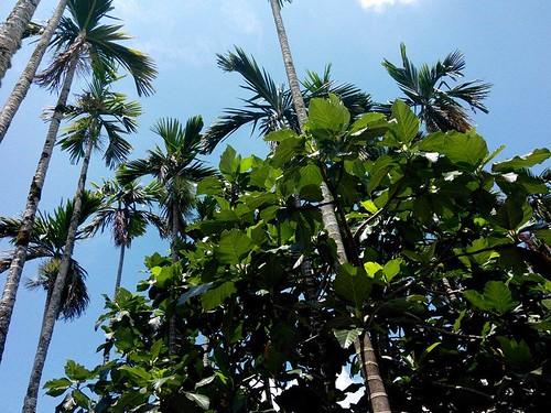 台灣山坡地常見的檳榔樹、花東地區隨處可見的麵包樹,除了果實具有經濟價值,葉片更是盛裝食器的好幫手。(攝影:謝宗璋)