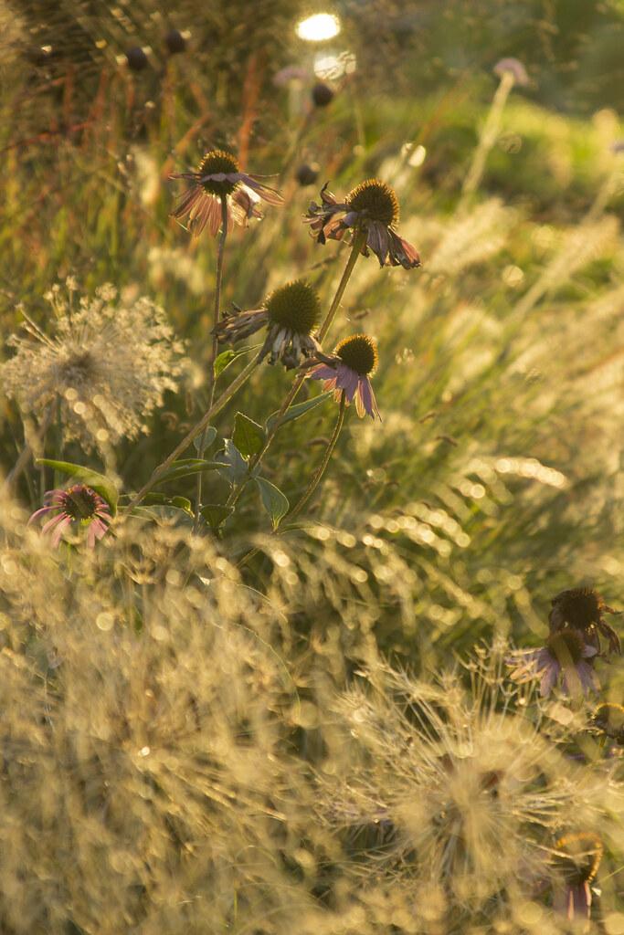 september sunset echinacea