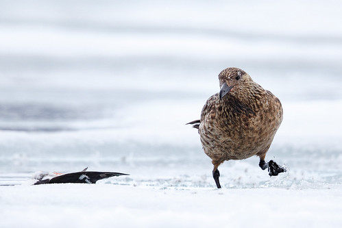 Great Skua (Storlabb)