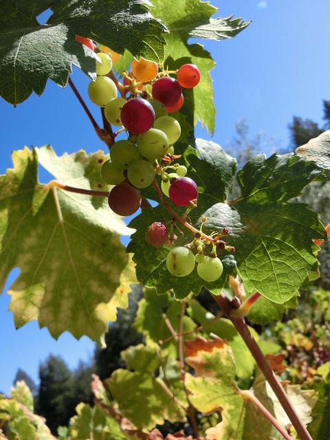 Grapes at Castello di Amorosa
