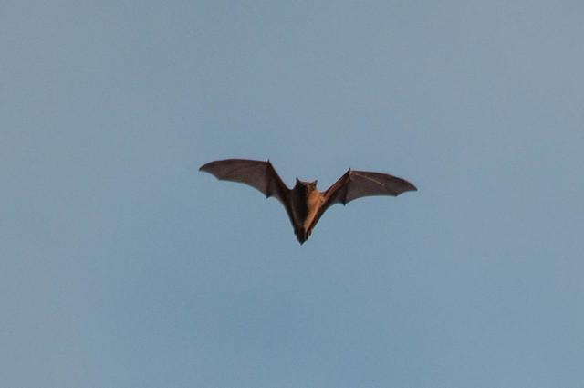 Bat (Microchiroptera)