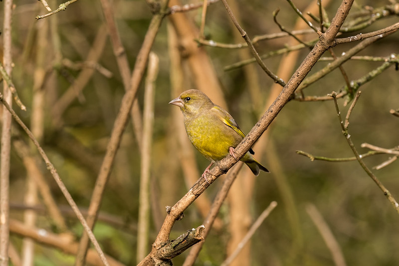 Male Greenfinch