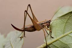 Yersinella raymondii female