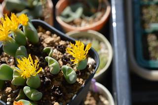 DSC_1248 Conophytum cvs. 小菊の舞 コノフィツム