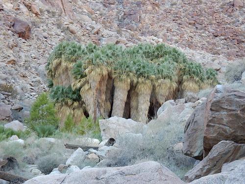 Borrego Palm Canyon Trail - California Fan Palm