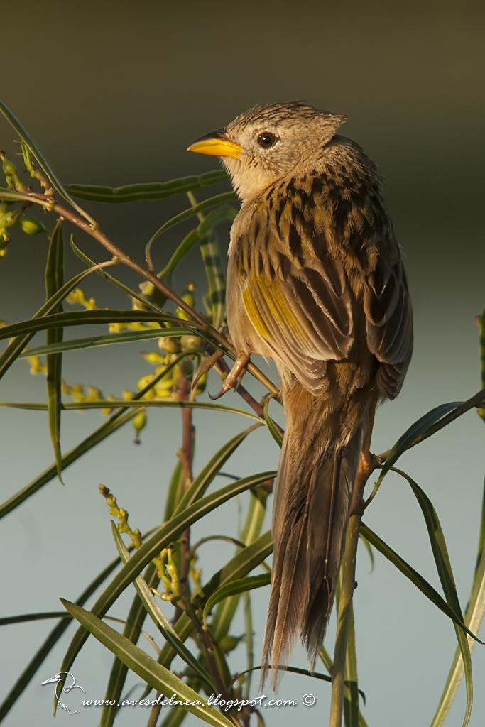 Coludo chico (Lesser-grass Finch) Emberizoides ypiranganus