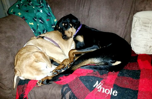 Senior Hound and Doberman Puppy cuddle time - Lapdog Creations