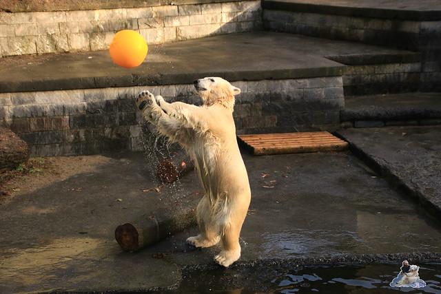 Eisbär Fiete im Zoo Rostock 12.12.2015   135